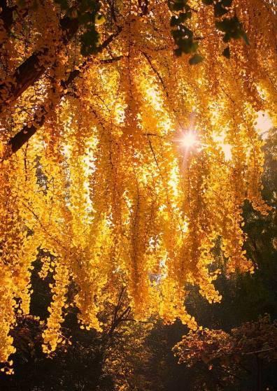 Златистите коси на есента